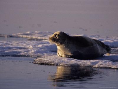 foca seal