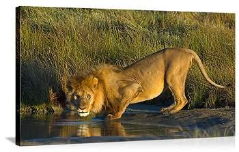 León bebiendo (HD)