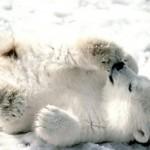 Nacimiento de un oso polar
