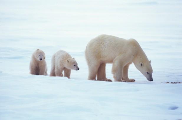 Osa Polar y dos cachorros bajando icebergs