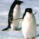 ¿Un pingüino borracho en la Antártida?