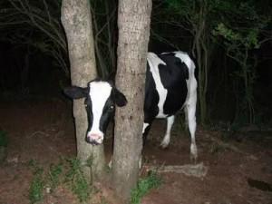 Animales graciosos vaca atrapada