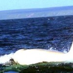 Iceberg: La orca blanca