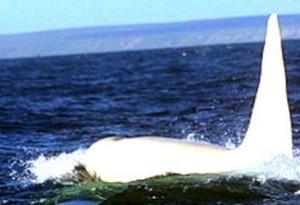 Iceberg Orca Blanca Albina white killer whale