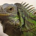 Documentales online: Iguana Verde (BBC)