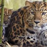 Documental online: Leopardos al Acecho