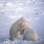 Diario de Osos polares salvajes