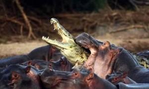cocodrilo hipopotamo