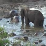 Elefante en una charca de hipopótamos