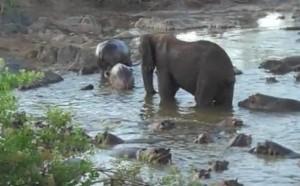 elefante hipopotamo
