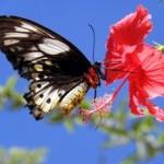 Mariposa en un hibisco (HD)
