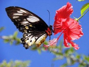 mariposa hibisco