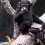 El mono que se mete un dedo en el ano