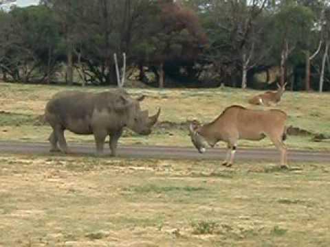 Rinoceronte y antílope frente a frente