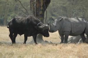 rinoceronte bufalo buffalo