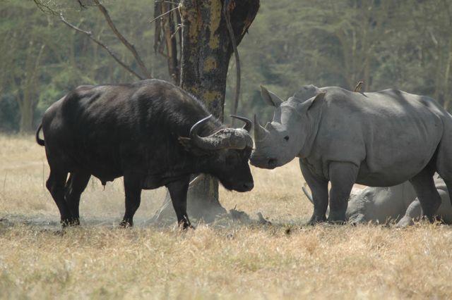 Rinoceronte frente a búfalo