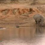 Rinocerontes bebiendo en terreno de hipopótamos