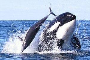 Buceando con orcas