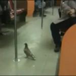 Las palomas toman el metro en NY