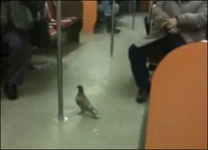 Paloma metro pigeon subway