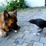 Perro y cuervo jugando con una pelota