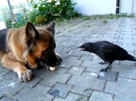 perro cuervo jugando dog raven ball