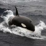 Orcas cazando cerca de la costa