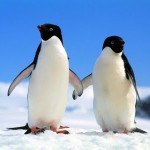 Un pingüino intenta llegar a su madre