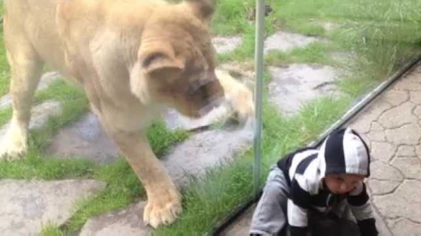 Leona intenta comerse un niño