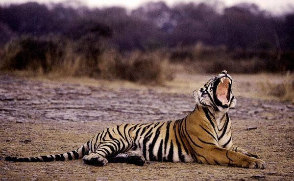 Reportaje: Los tigres salvajes de la India