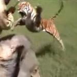 Famoso ataque de tigre
