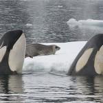 Así cazan focas las orcas (Planeta Helado)