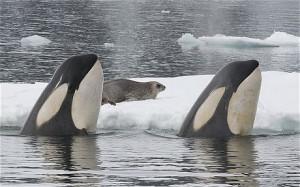 focas orcas