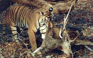 Tigre e Impala, frente a frente