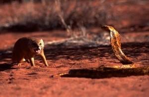 cobra mangosta
