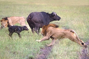 Madre bufalo defiende a su cría de un grupo de leonas