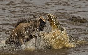 cocodrilo cazando