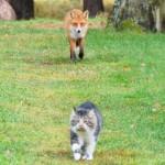 El gato contra el zorro