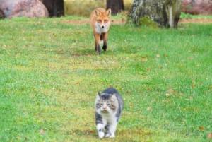 gato zorro