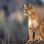 Sorprendente duelo entre un Puma y unos Jabalíes