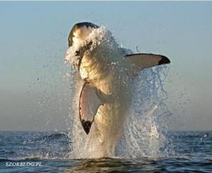 tiburon foca