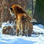 Tigres jugando en la nieve