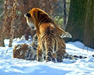 tigres nieve tigers snow