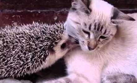 Gato y erizo enamorados