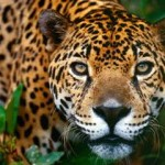 Documentales animales: el jaguar