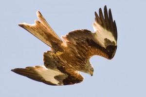 foto milano rojo red kites photo