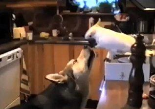 Cacatúa alimenta a un perro