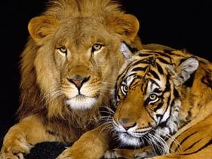 Un hombre, un tigre y un león jugando