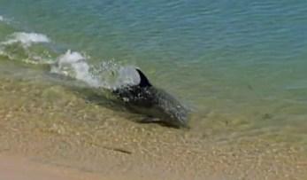 Delfines hidroplaneando para cazar
