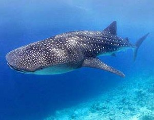 foto tiburon ballena